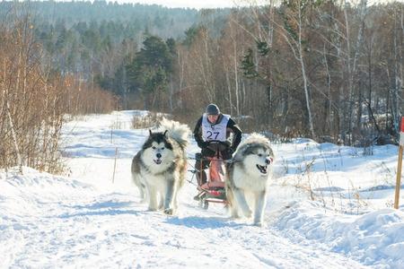 mushing: Irkutsk, Russia - January 28, 2017: Racing competition for dog sledding and skijoring Angara beads 2017.
