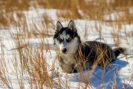 Husky puppy in snow drifts and high yellow grass.