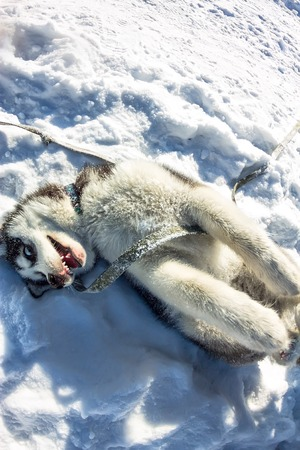 Fish Eye portrait of husky dog lying on his back and grinning