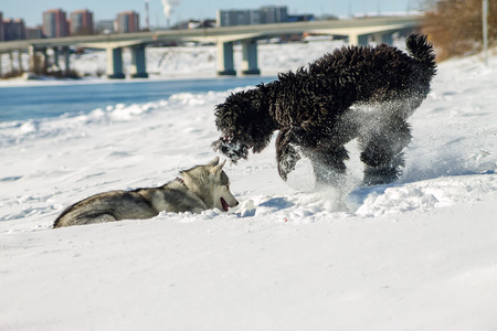 Young Husky and Black Russian Terrier play fighting in snow. Stock Photo