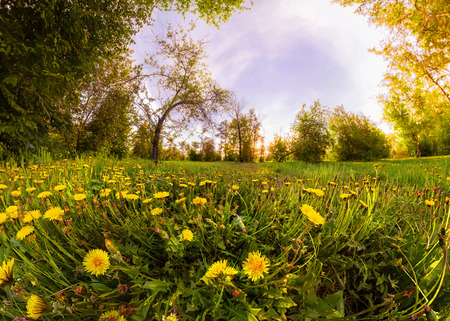Field of yellow dandelions in a green forest at sunset. Panorama. Фото со стока