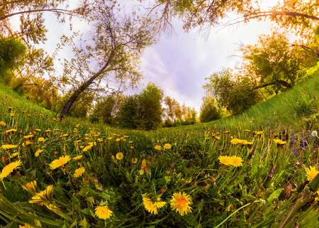 Field of yellow dandelions in a green forest at sunset. Panorama. Фото со стока - 104703978