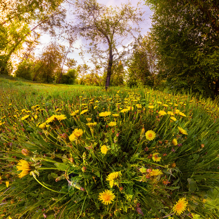 Field of yellow dandelions in a green forest at sunset. Panorama. Фото со стока - 104704004