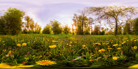 Field of yellow dandelions in the green forest at sunset. Spherical 360vr degree panorama. Фото со стока - 105199044