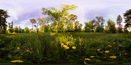 Field of yellow dandelions in the green forest at sunset. Spherical 360vr degree panorama. Фото со стока - 105199047