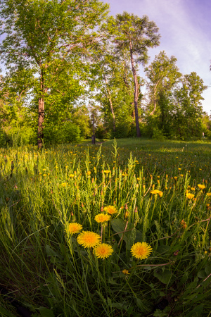 Field of yellow dandelions in a green forest at sunset. Фото со стока - 103905793
