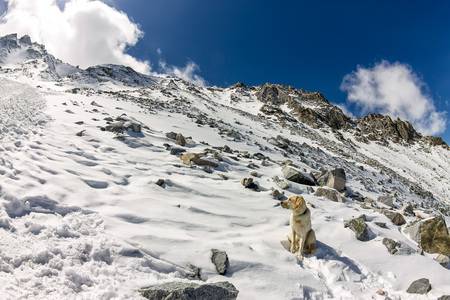 Dog white retriever labrador on top of a snowy mountain looks into the distance