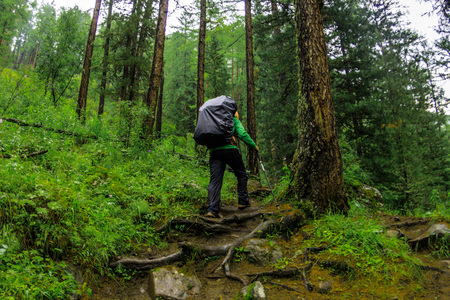 Woman tourist with a backpack goes along the path in a green rain forest of coniferous Фото со стока