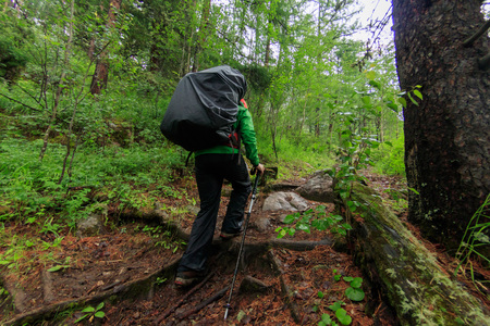 Woman tourist with a backpack goes along the path in a green rain forest of coniferous Фото со стока - 119771881