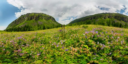 Fogy field of blue flover on a cloudy day. Wide panorama Фото со стока