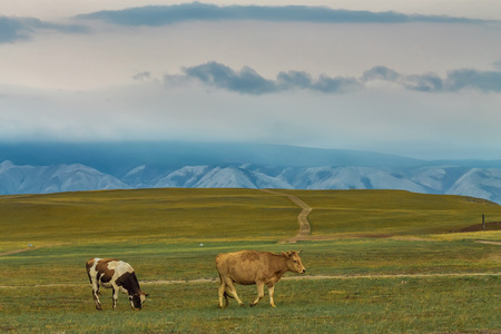 Cows are walking on the meadow field on Olkhon Island on the background of mountains and clouds