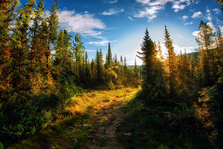 Landscape dawn on the trail in the summer spruce forest myst foggy morning