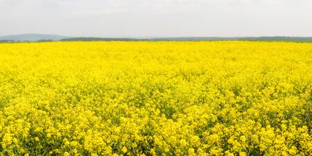Yellow colza field in the morning in the fog at sunrise landscape. Wide panorama Фото со стока
