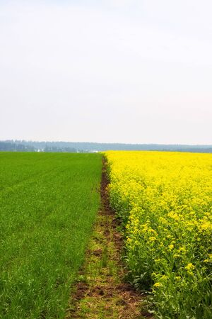 Yellow colza field and green wheat field separated by path in the morning in the fog at sunrise landscape Фото со стока