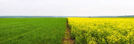 Yellow colza field and green wheat field separated by path in the morning in the fog at sunrise landscape. Wide panorama
