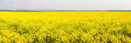 Yellow colza field in the morning in the fog at sunrise landscape. Wide panorama Foto de archivo