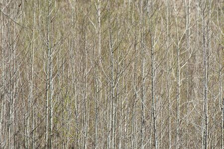 Background of gray tree trunks and bushes without leaves of spring forest, silhouette wood pattern. Foto de archivo