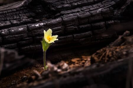 yellow primrose flower in the light of sunlight on the background of a burnt tree trunk