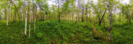 green birch forest in summer white trunks of trees. Spherical panorama 360vr