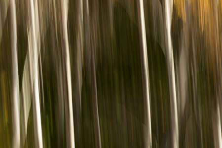 Abstract motion blur dark background of birch trees in an autumn forest