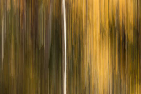 Abstract motion blur yellow background of birch trees in an autumn forest