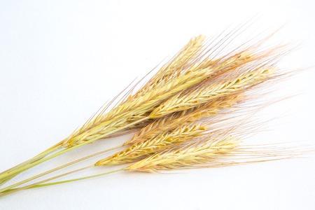 espiga de trigo: El trigo en el fondo blanco de cerca
