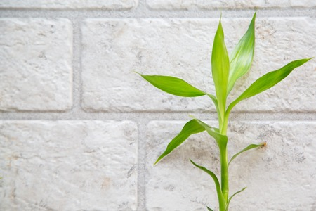 lucky bamboo: Lucky bamboo Belgian evergreen on the grey brick wall background Stock Photo