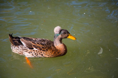 crested duck: Male Crested Duck, Lophonetta specularioides swimming in the pond