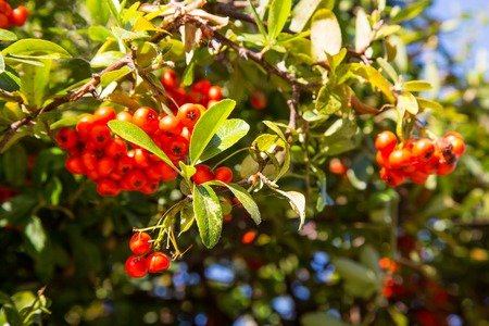 Rowan berries photo
