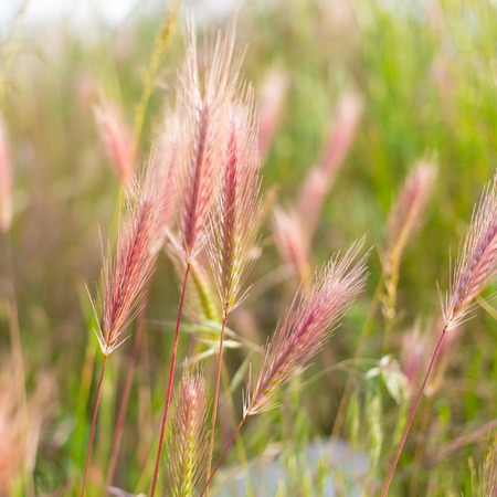 barley head: The field of spikes at spring time