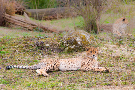 gepard: Beautiful Cheetah Gepard, Acinonyx jubatus Stock Photo