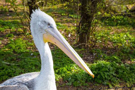 onocrotalus: Close up portrait of Pelecanus onocrotalus also known as the eastern white pelican Stock Photo