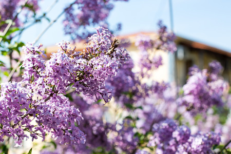 syringa: branch of Syringa vulgaris lilac blossom at spring time in the garden and house roof on background