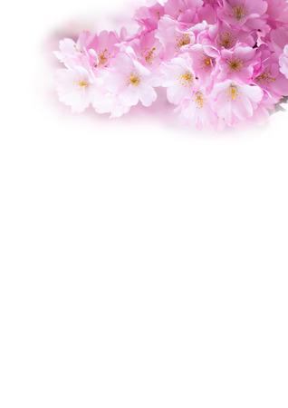 Vertical background with Beautiful pink cherry blossom, Sakura flowers on white photo