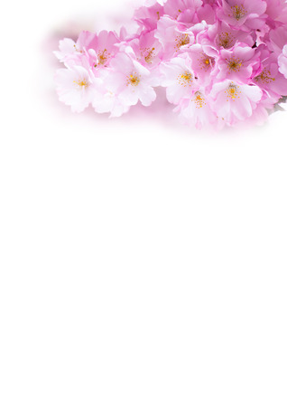 Vertical background with Beautiful pink cherry blossom, Sakura flowers on white photo
