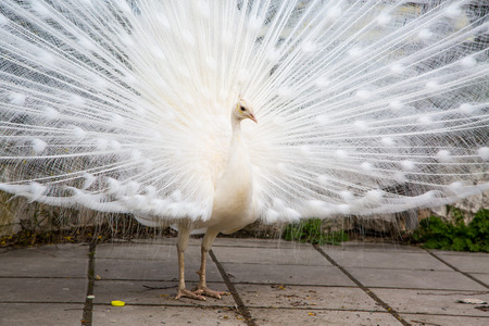 feathering: Male white peacock with spread tail-feathers Stock Photo