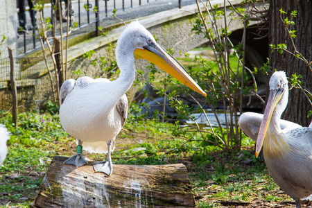 pelecanus onocrotalus: Pelecanus onocrotalus also known as the eastern white pelican