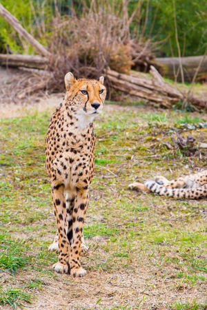 gepard: Beautiful Cheetah, Acinonyx jubatus