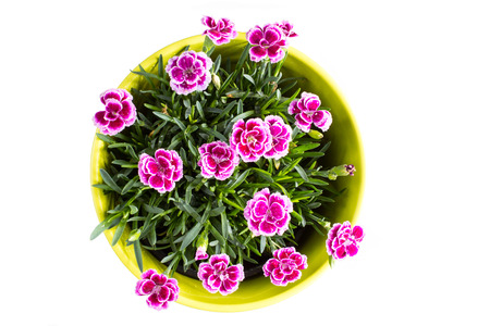 Top view of purple Berry mini carnation dianthus flower with water drops in the colorful flower pot on the white background