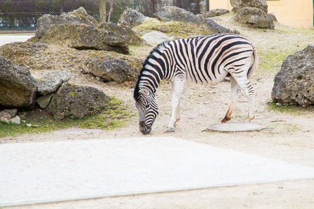head down: zebra with the head down looking for the food