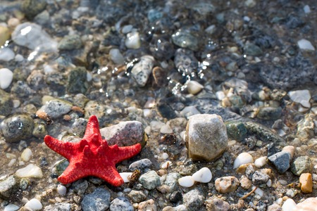 sea star: Red Sea star, stone beach, clean water background Stock Photo