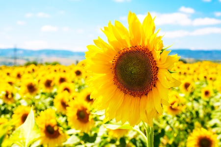 Vibrant summer background with close up blooming beautiful sunflower at field landscape and cloudy blue sky lightened by bright sun Standard-Bild