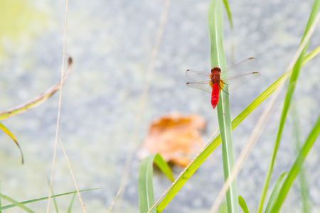 libellulidae: Environment concept background. Red dragonfly resting on a straw, place for text, copyspace