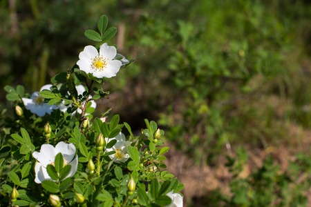 uncultivated: Uncultivated White Rose hip flower on the green background in the forest with copyspace