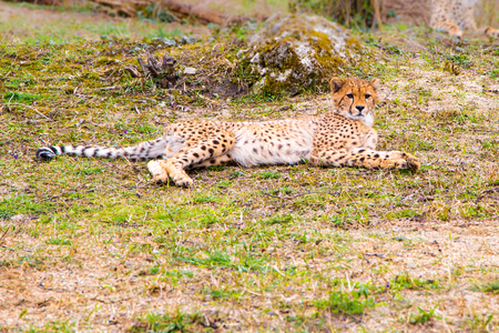 gepard: Beautiful Cheetah , Acinonyx jubatus  lying down on green grass and looking at camera