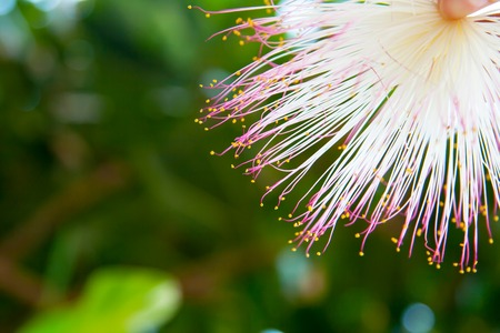 barringtonia: Tropical summer background with Barringtonia flower at the green blur background Stock Photo
