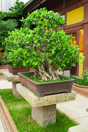 scenary: Bonsai tree, Chinese or japanese traditional park background