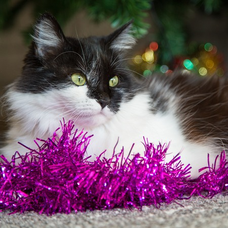 new year cat: Black and white cat with green eyes lying near Christmas decorations and new year tree