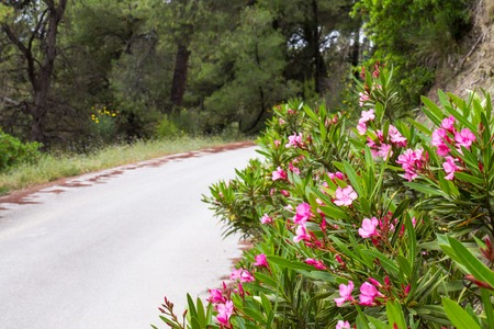 oleander: The road in the forest, pink oleander flowers, green pines Stock Photo