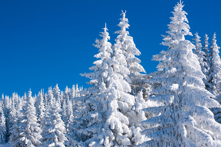 heavy snow: Vibrant winter vacation background with pine trees covered by heavy snow against blue sky with copy space